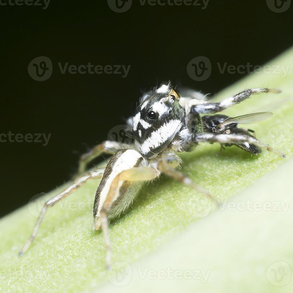 araignées attraper les mouches se nourrissent photo