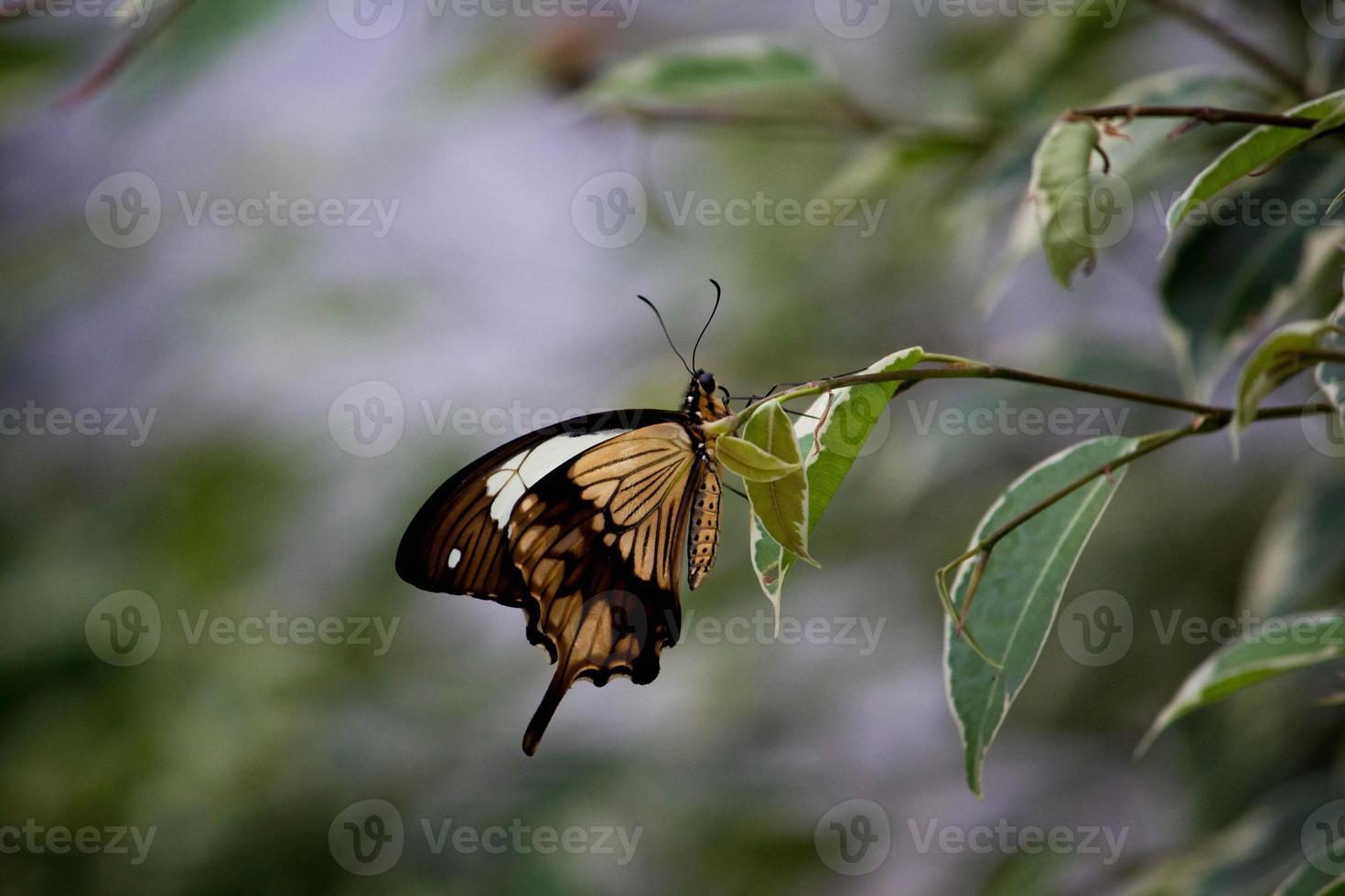 papillon machaon africain se percher sur une feuille photo