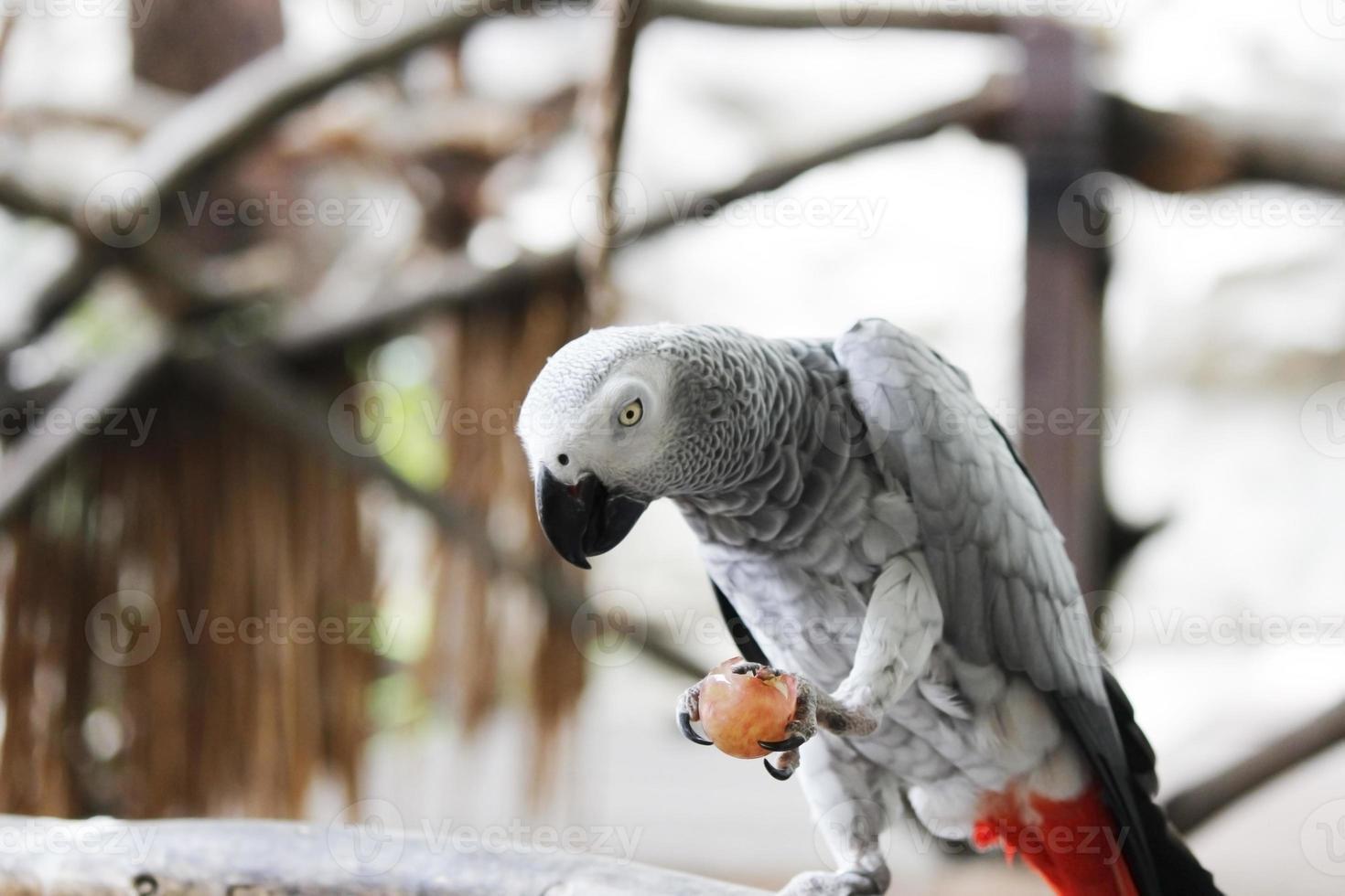 perroquet gris africain photo