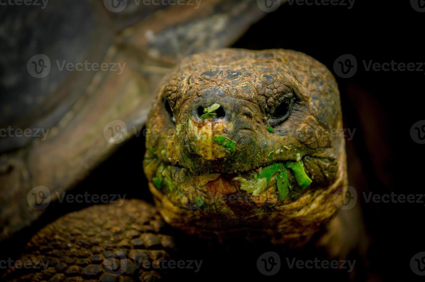 tortue des Galapagos sur l'île de Floreana photo