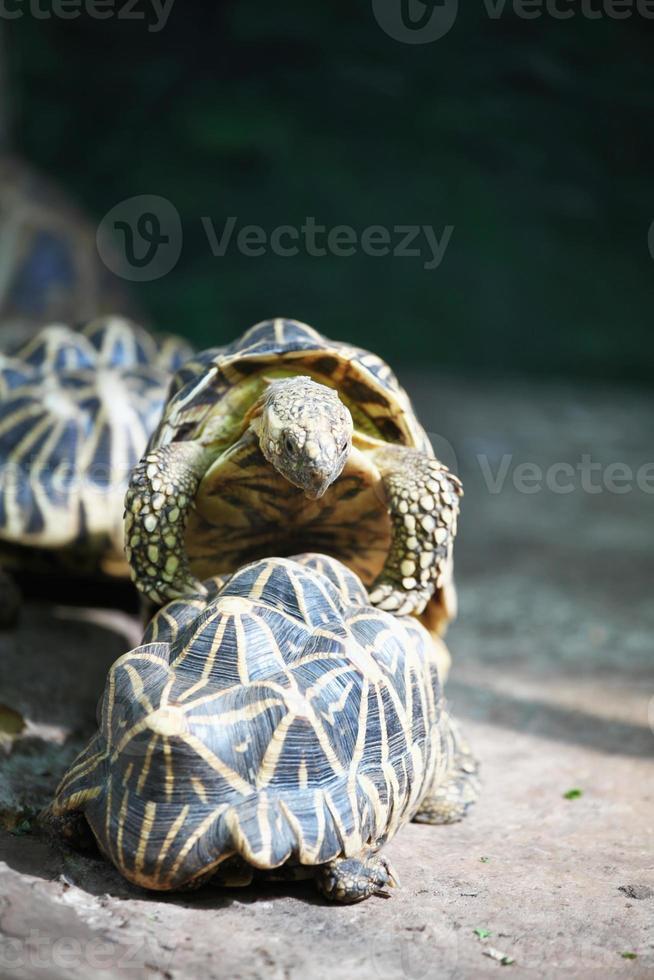 les tortues jouent photo