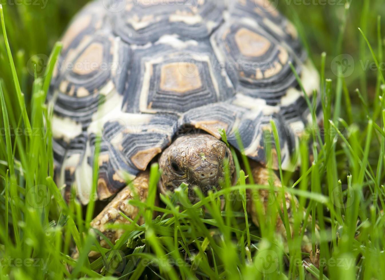 tortue marchant dans l'herbe verte photo