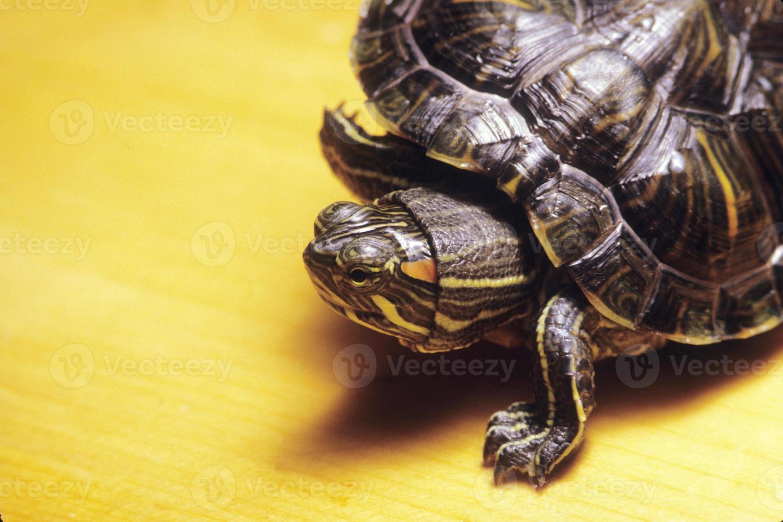 tortue marocaine photo