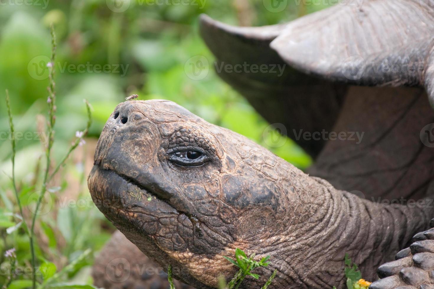 tortue géante des galapagos levant la tête photo