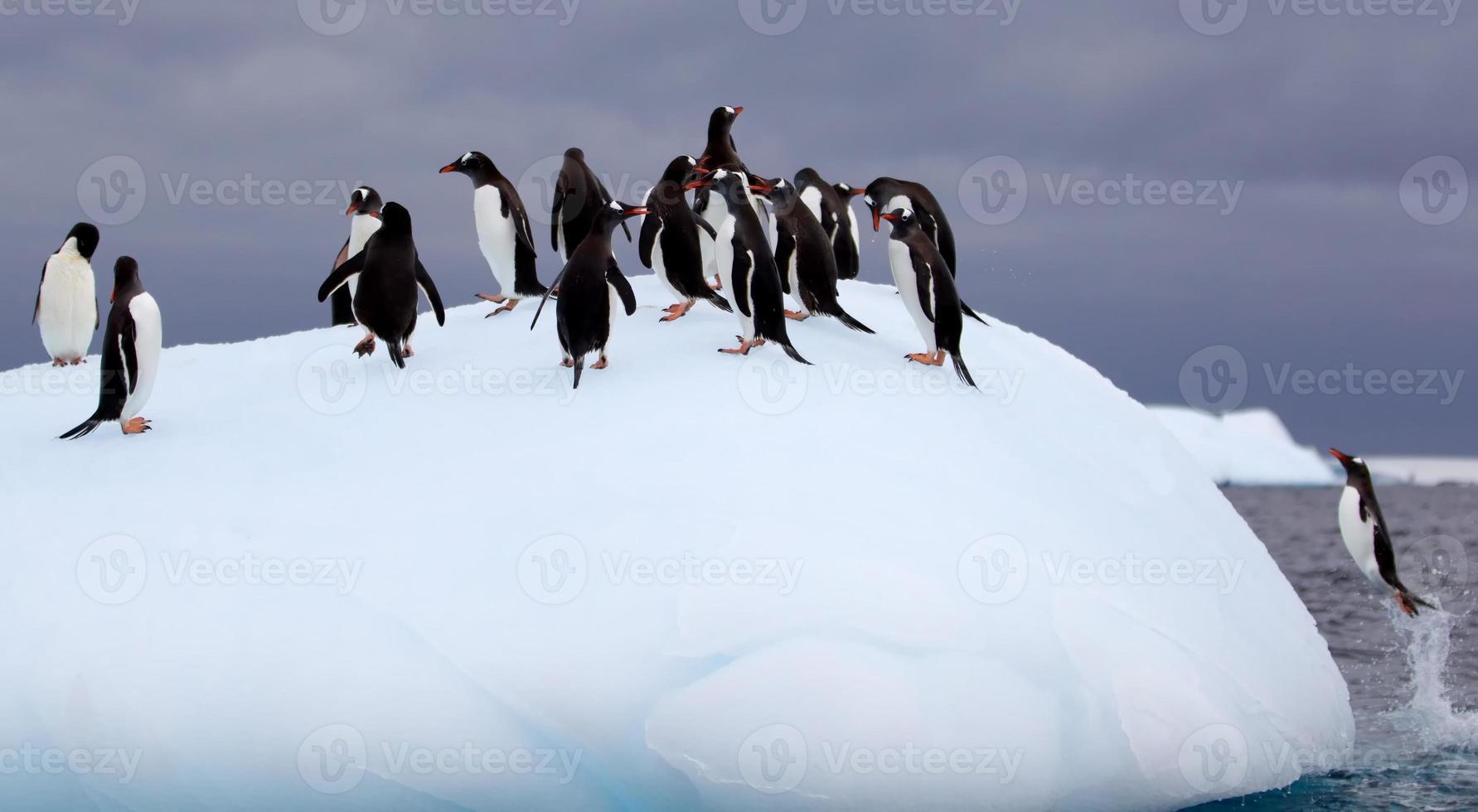 saut de manchots papous sur l'iceberg photo