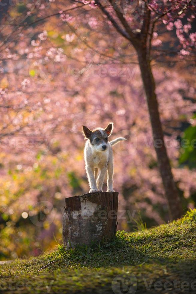le petit chien et la fleur de cerisier rose photo