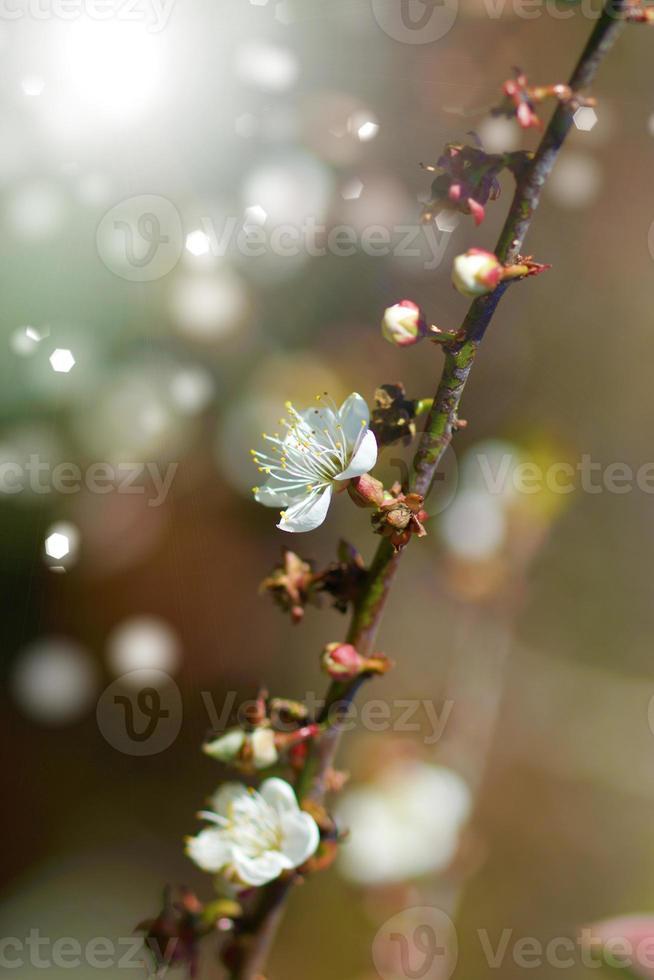 fleurs de prunier chinois qui fleurissent dans le parc photo