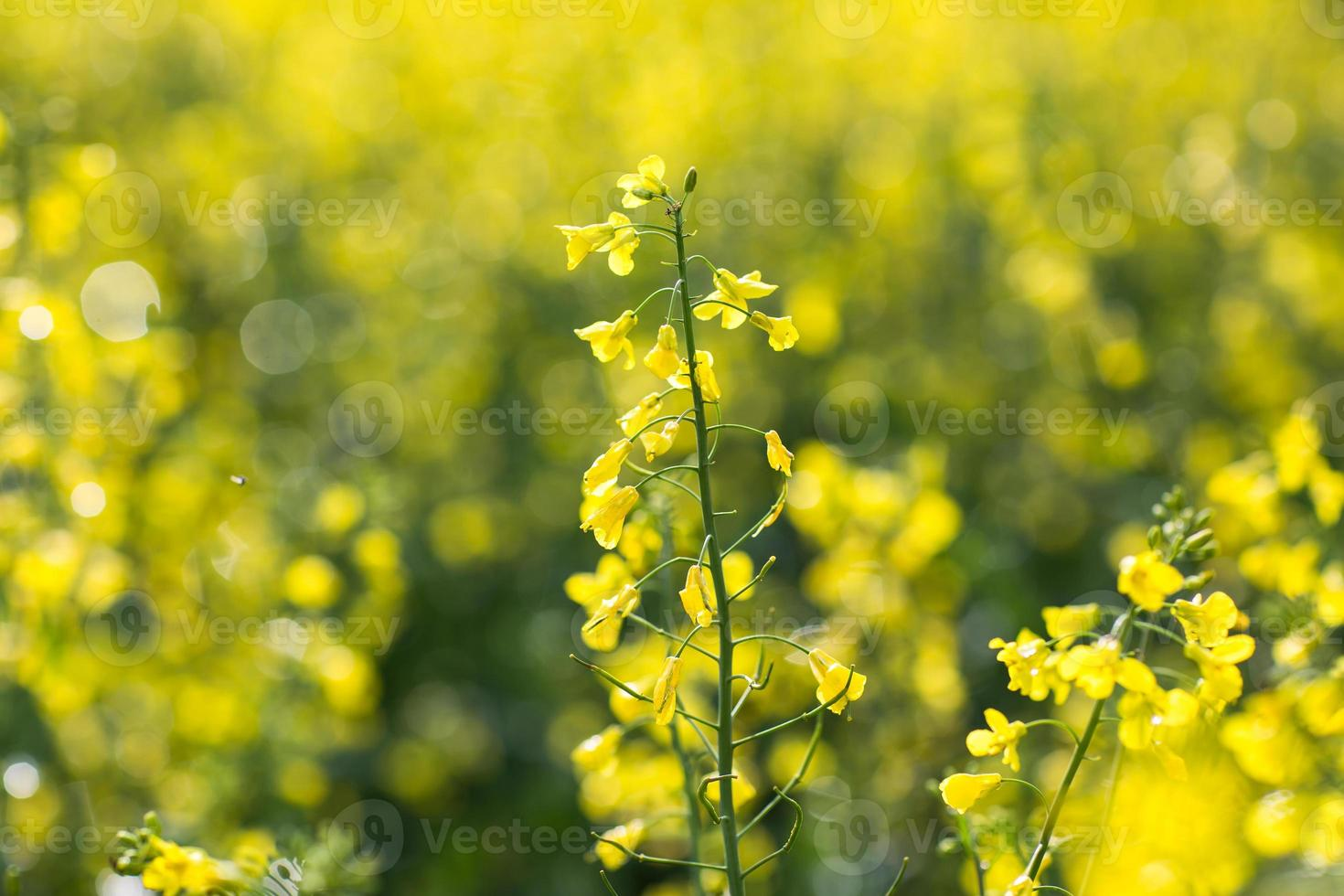 colza (brassica rapa) photo