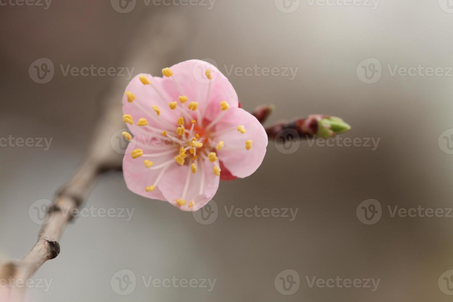 abricot photo