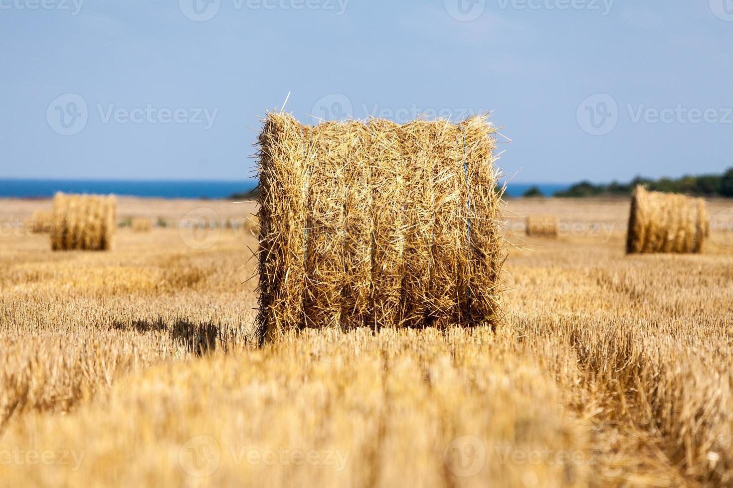 Champ de blé vallonné récolté avec des ballots de paille photo