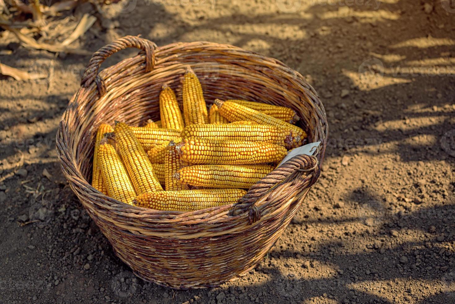 maïs récolté dans un panier en osier photo