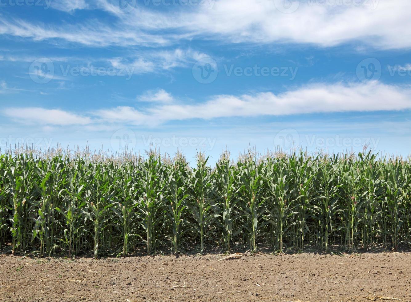 agriculture, champ de maïs photo