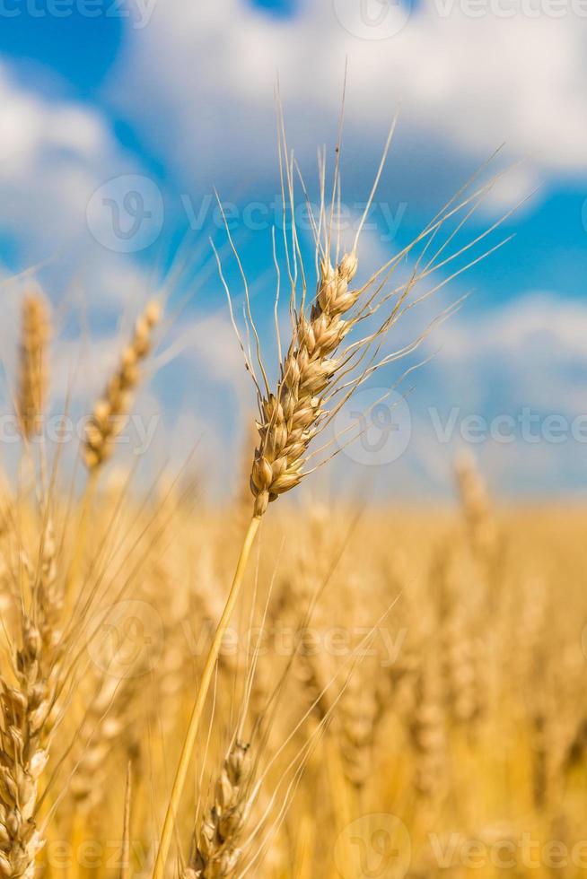 champ de blé, récolte fraîche de blé photo