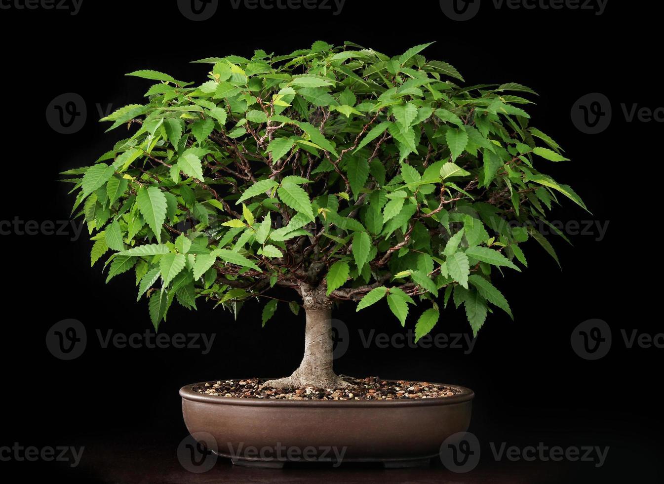 bonsaï orme d'été photo