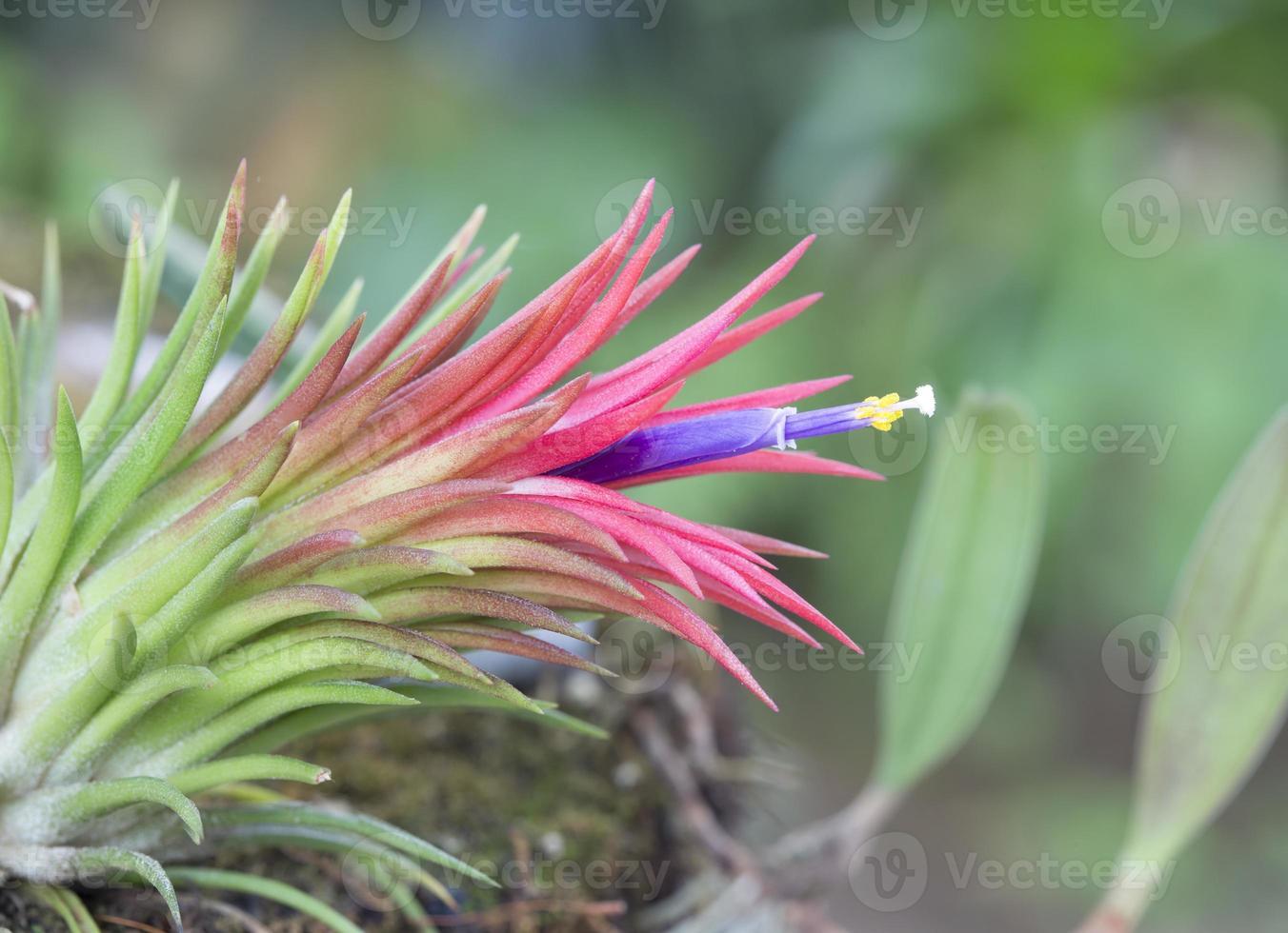 tillandsia ionantha en fleurs photo