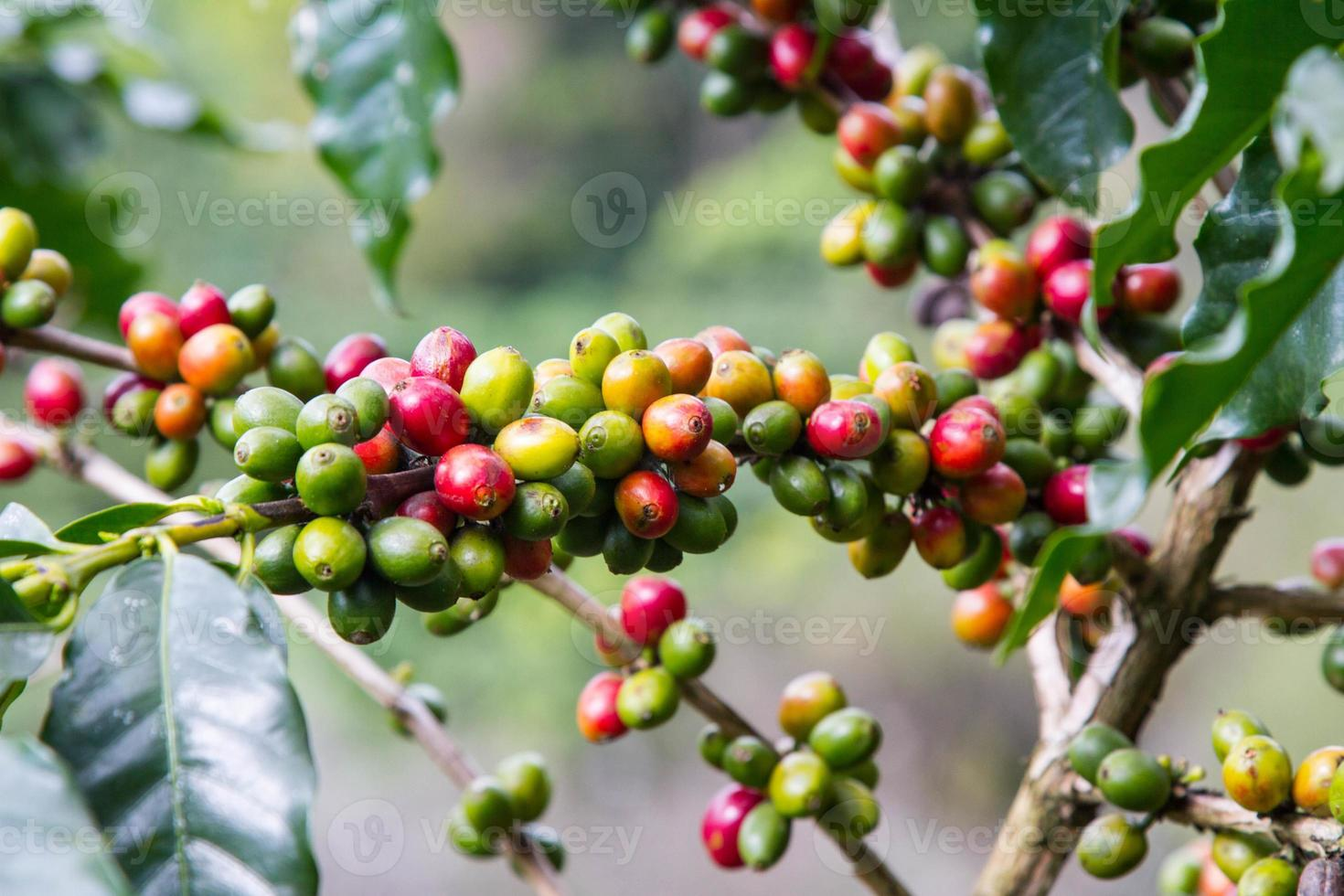 grains de café poussant sur la branche photo