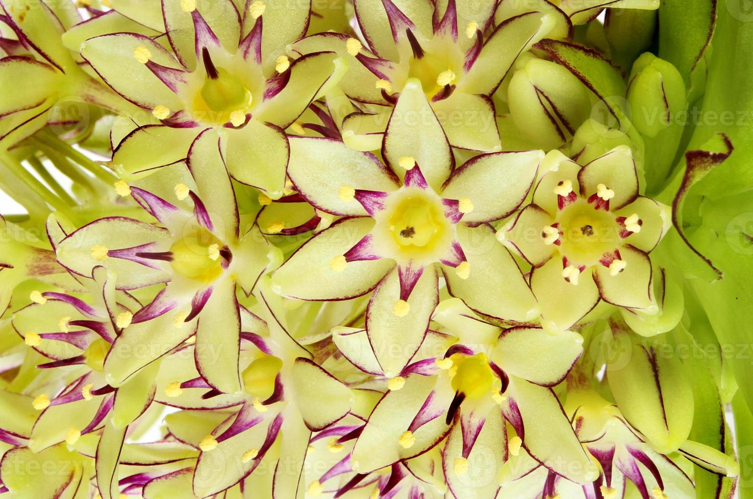 Gros plan de fleurs d'ananas photo
