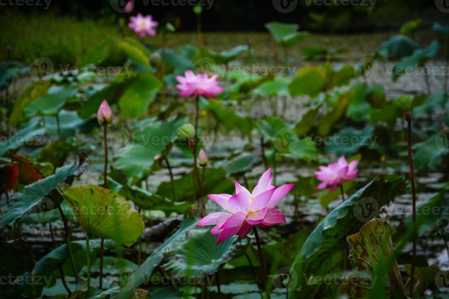 Étang de lotus dans le parc national de Krating Waterfall Iat Chantaburi, Thaïlande photo