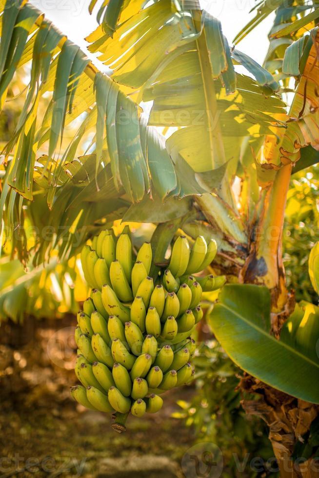 branche avec banans photo
