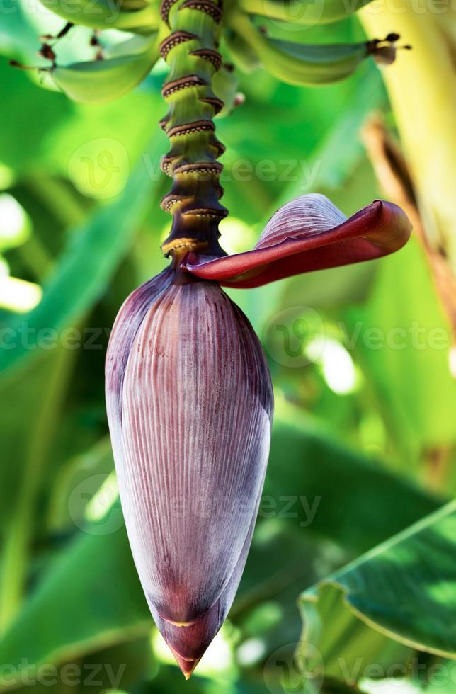 fleur de bananier photo