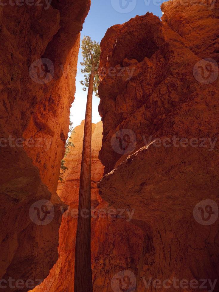 arbre rougeoyant dans le parc national de bryce canyon, utah photo