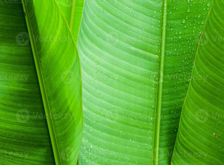 feuille de bananier vert photo