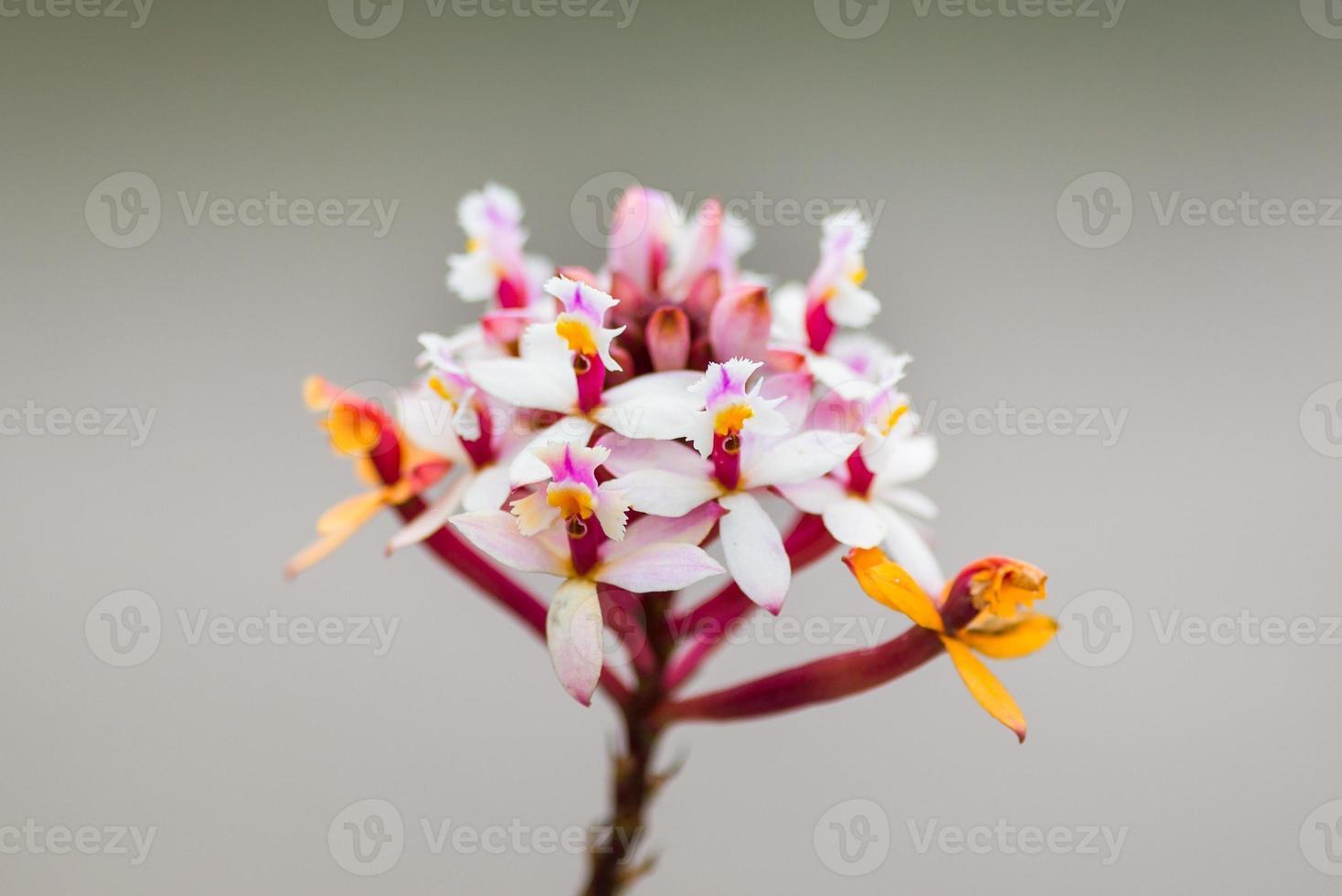 orchidées multicolores trouvées au sommet de la montagne avila photo