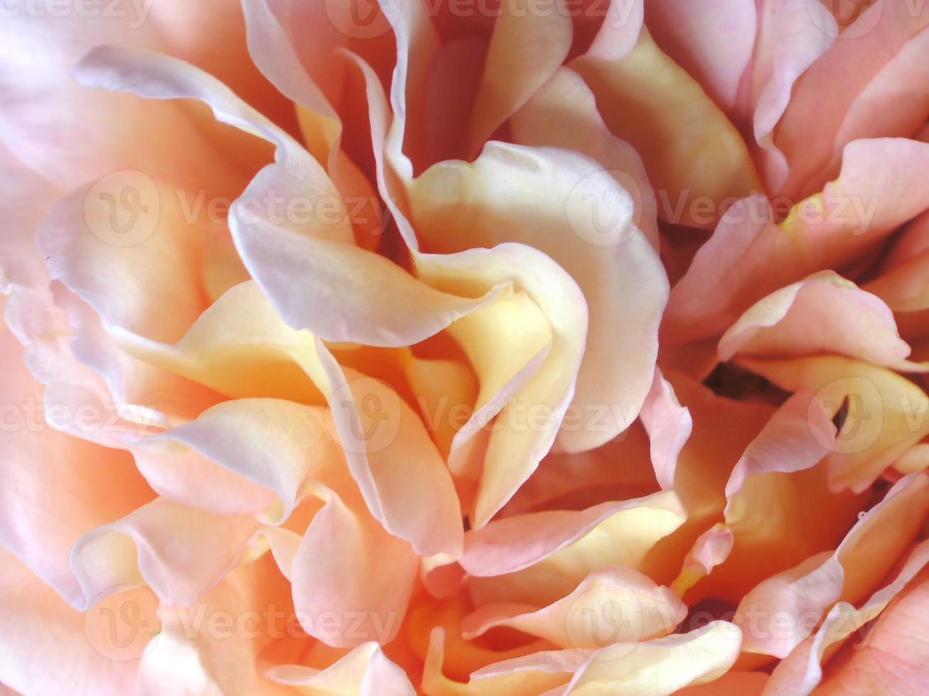 détails de pétale de rose photo