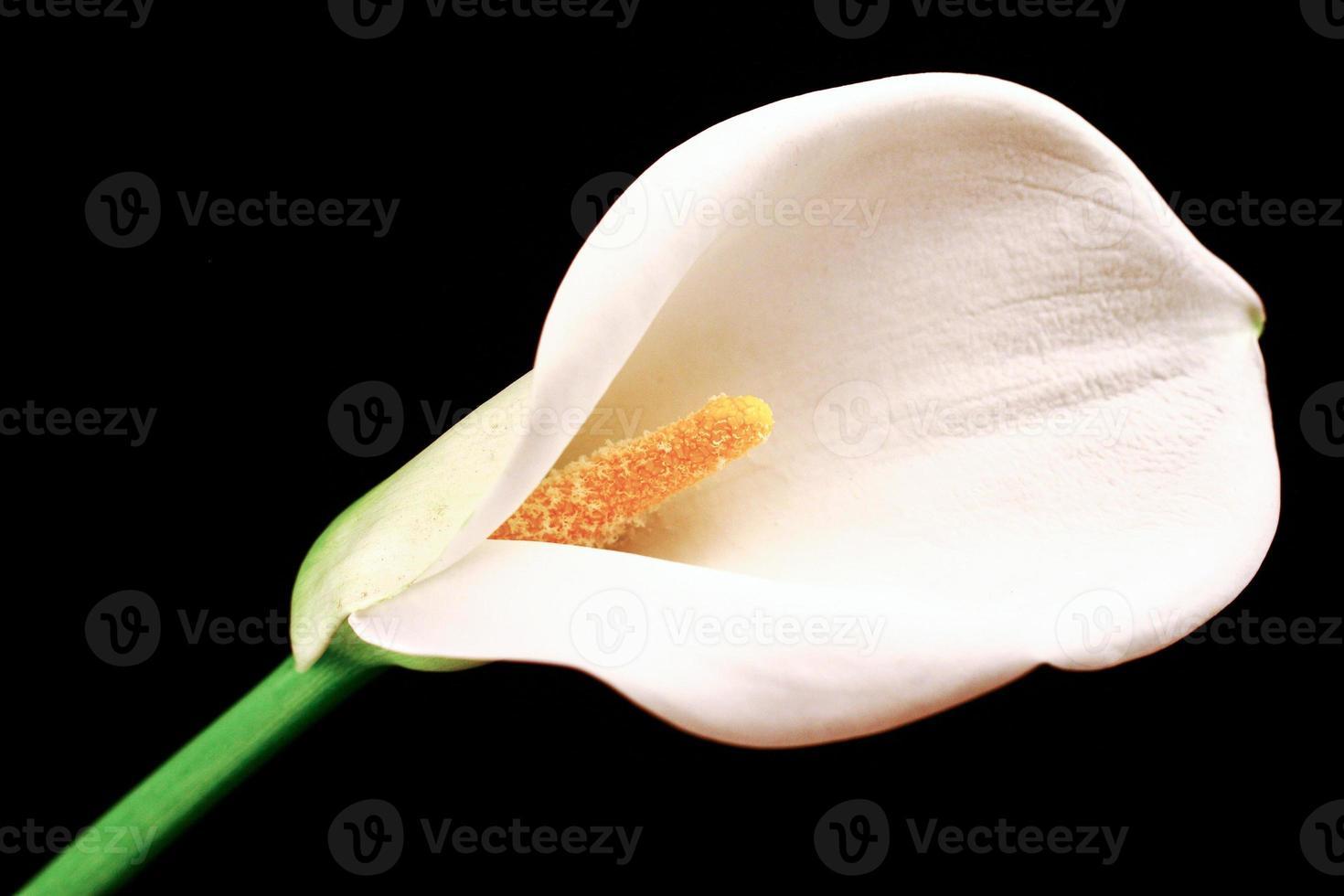 belle calla lilly blanc sur fond noir photo