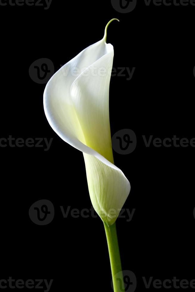 calla lily 7 photo
