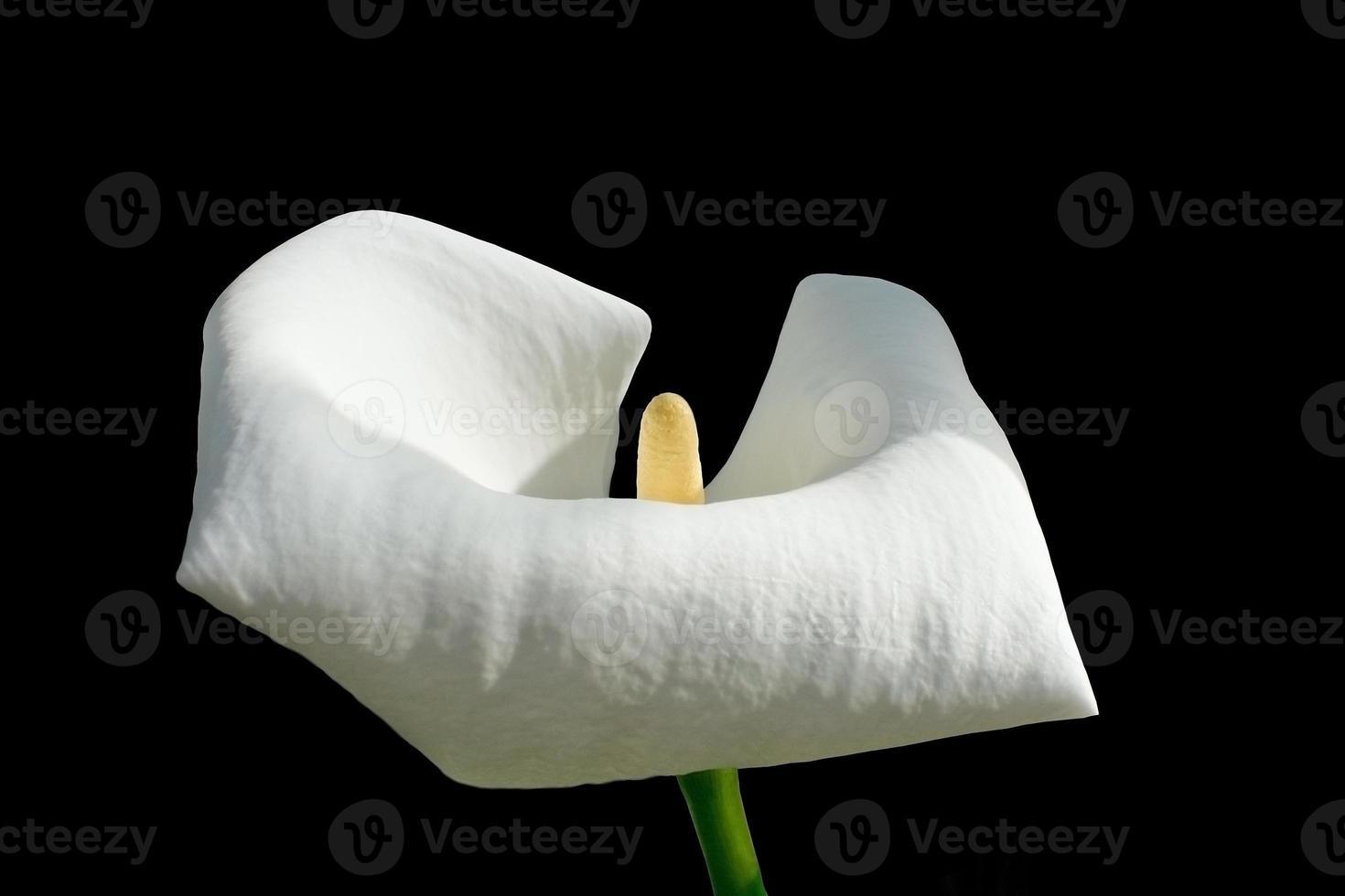 seule fleur de calla blanche photo