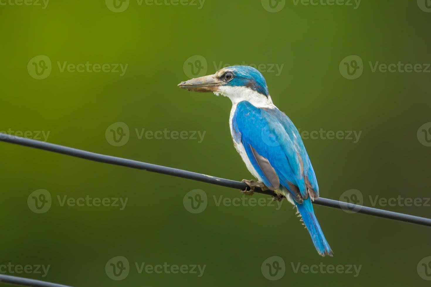 Martin-pêcheur à collier photo