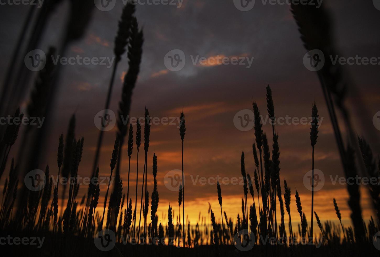 champ au coucher du soleil photo