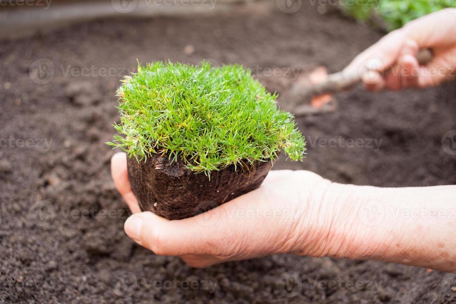 plant femelle senior plantation photo