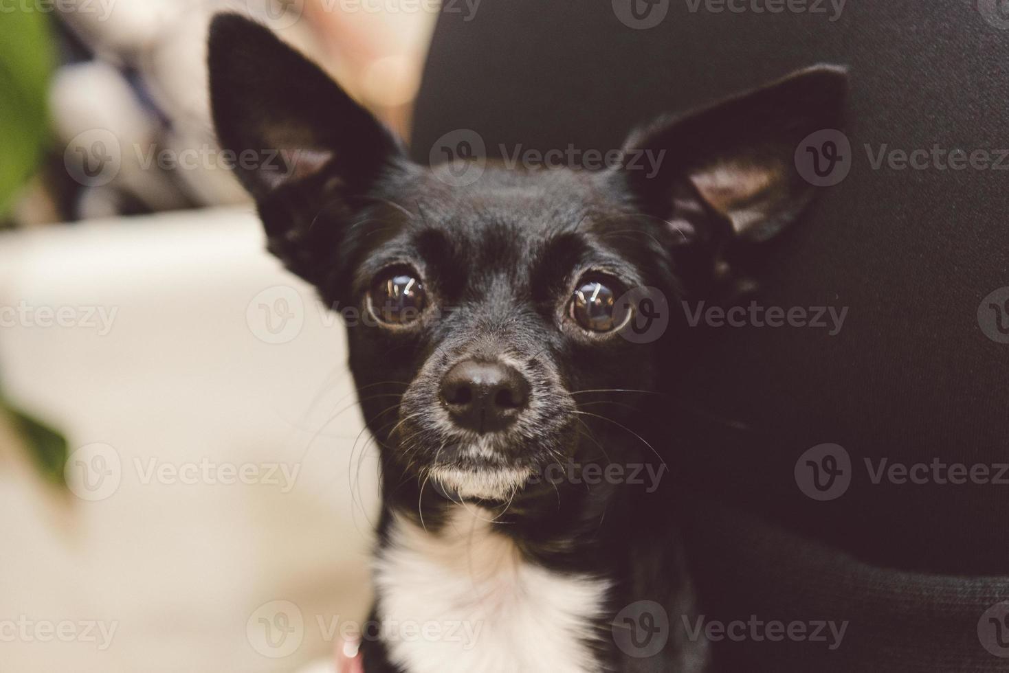 chien curieux femelle doux mignon noir pincher photo
