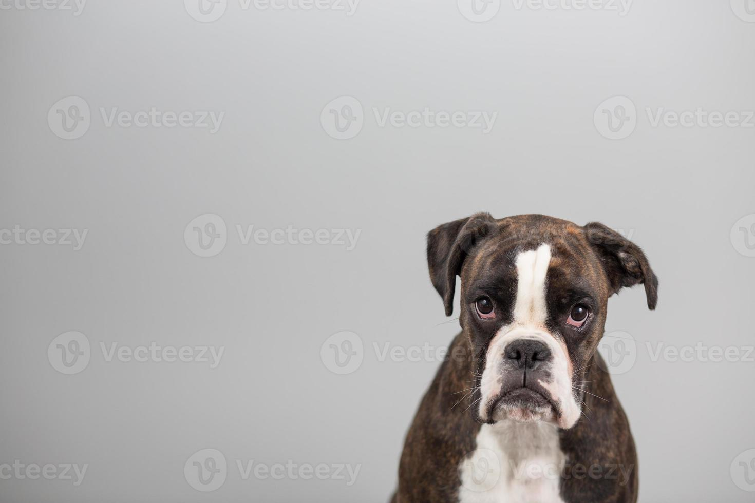 chien boxer dans un studio photo