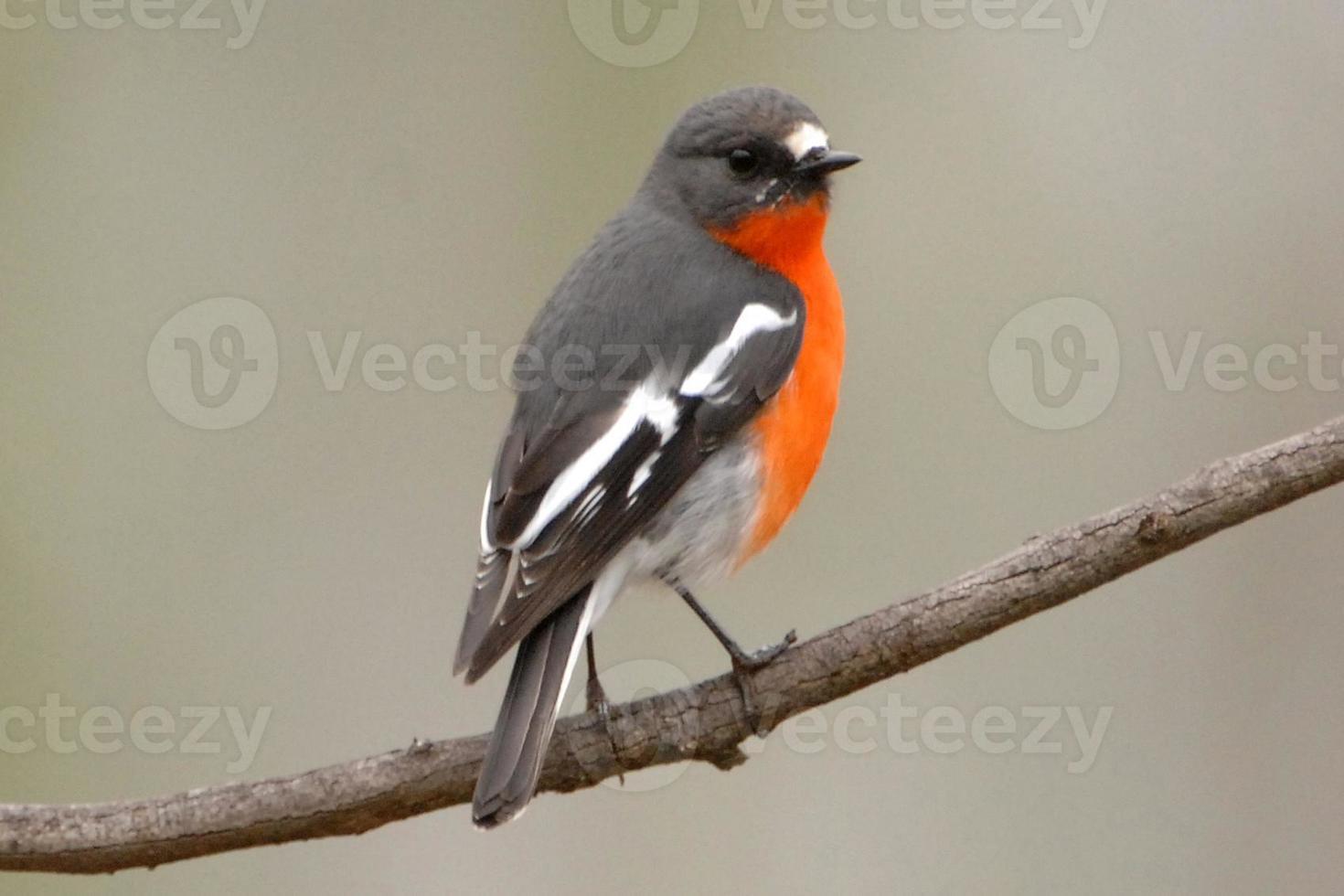 Robin des flammes mâle photo