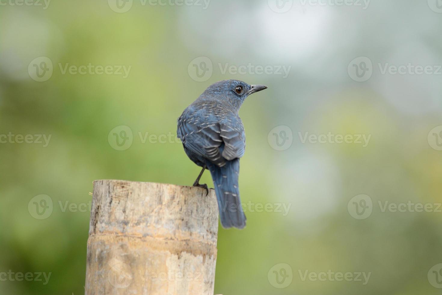 grive bleue photo