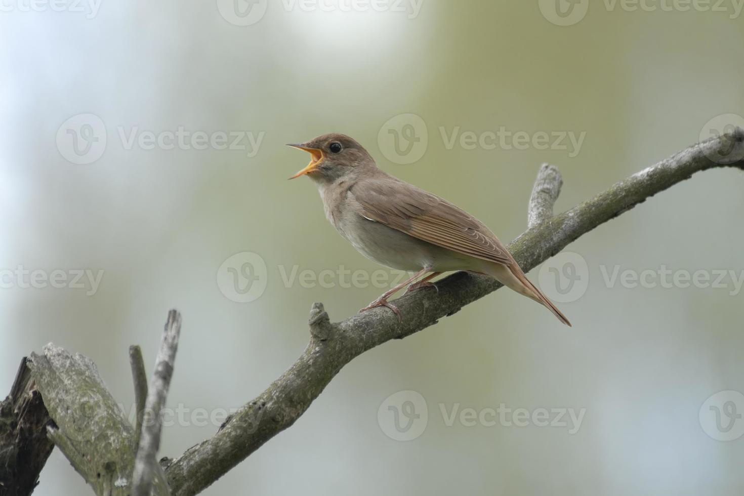 rossignol chantant sur une branche sèche photo