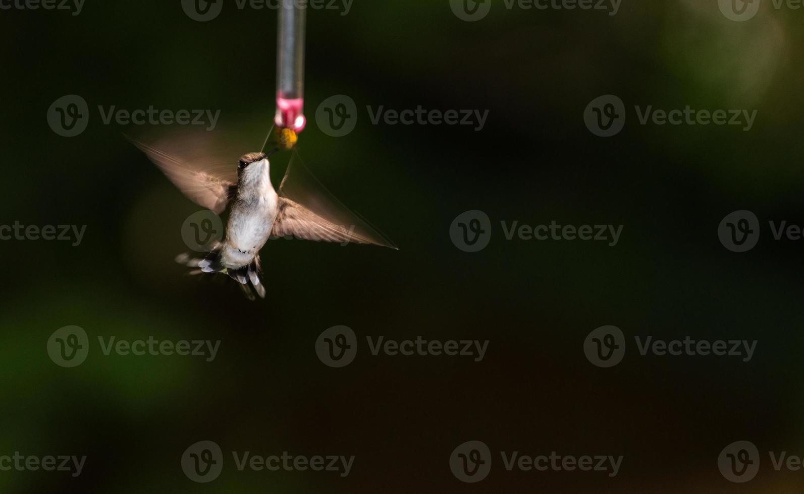 Colibri à gorge rubis femelle photo