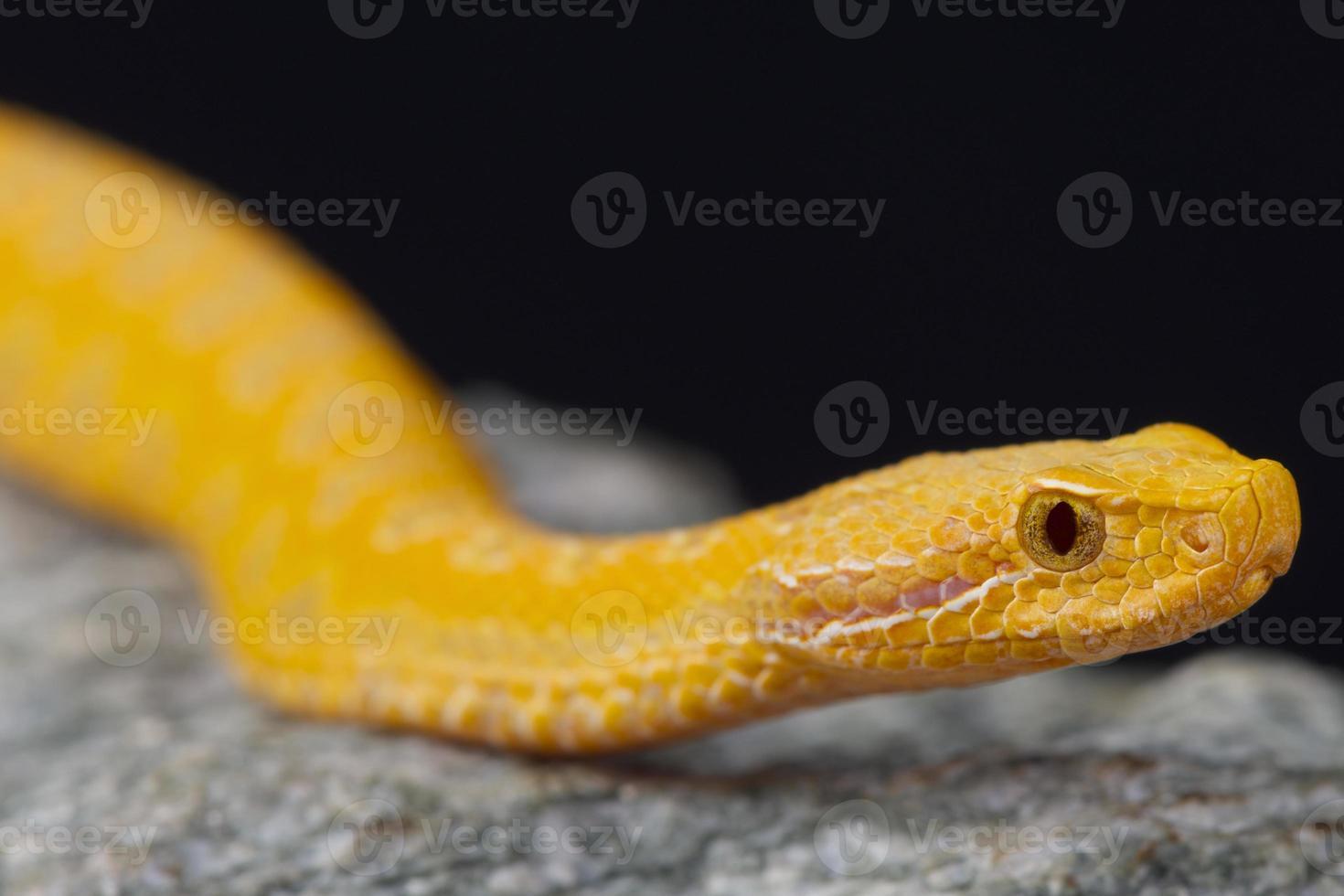vipère aspic, albinos / vipera aspis photo