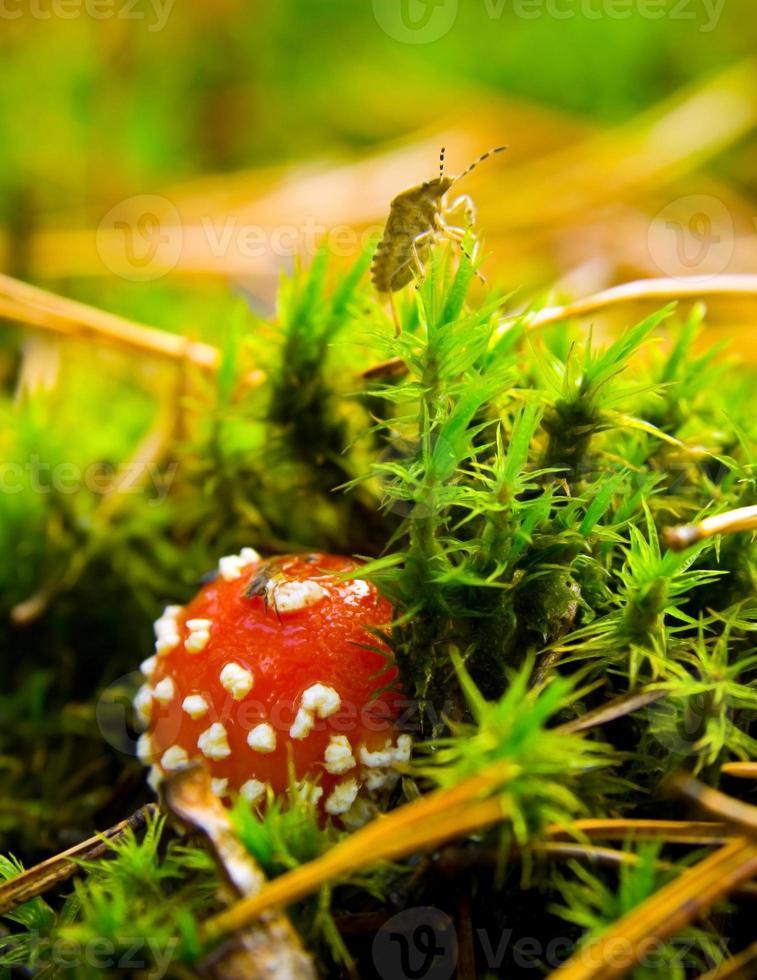 mouche champignon agaric photo