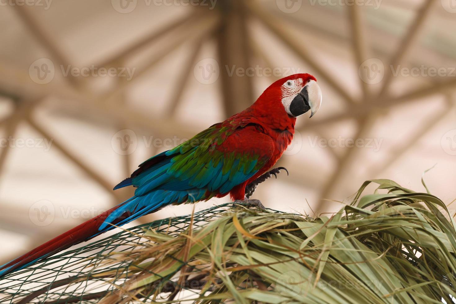 ara perroquet photo