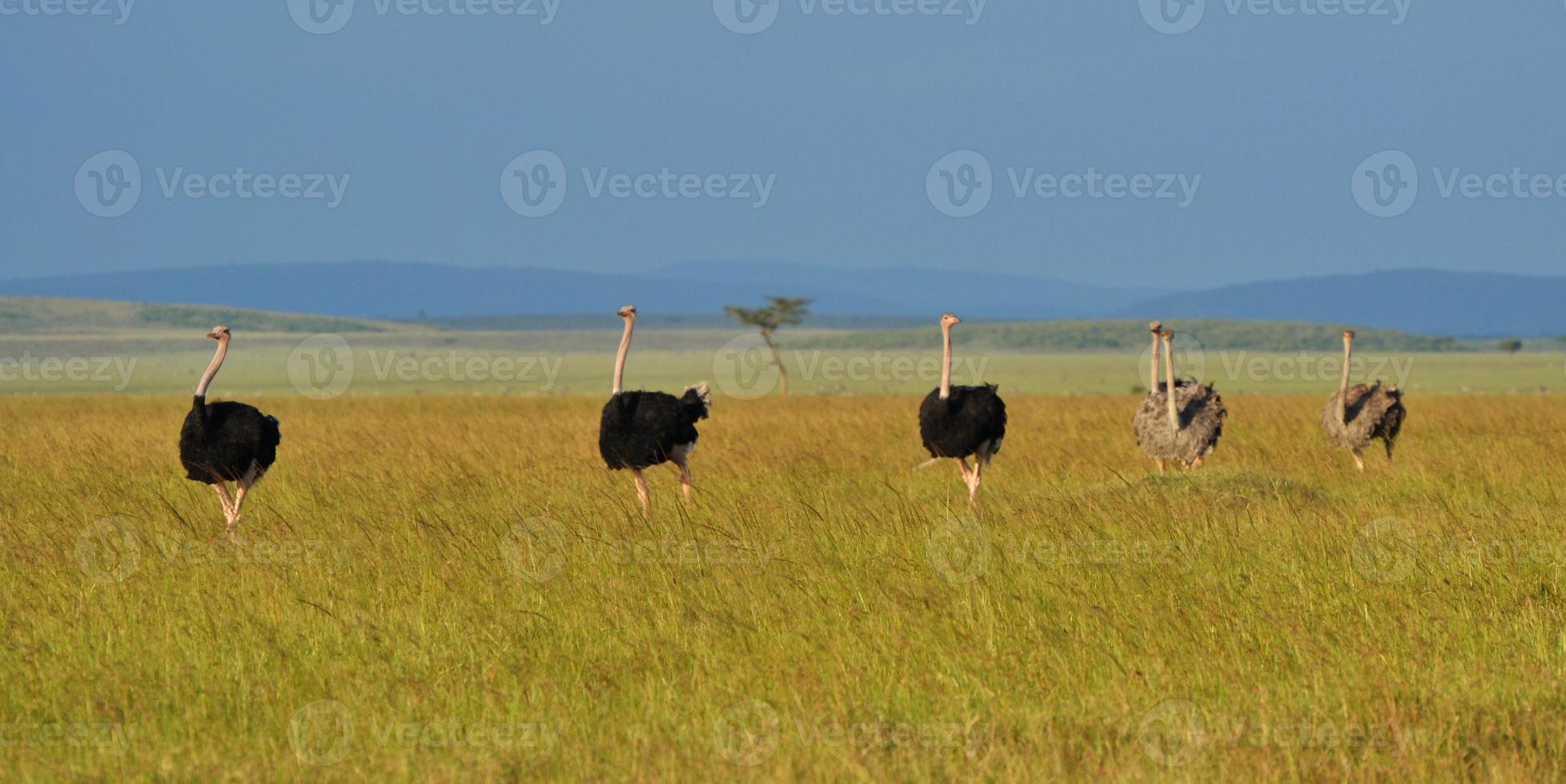 autruches au kenya photo