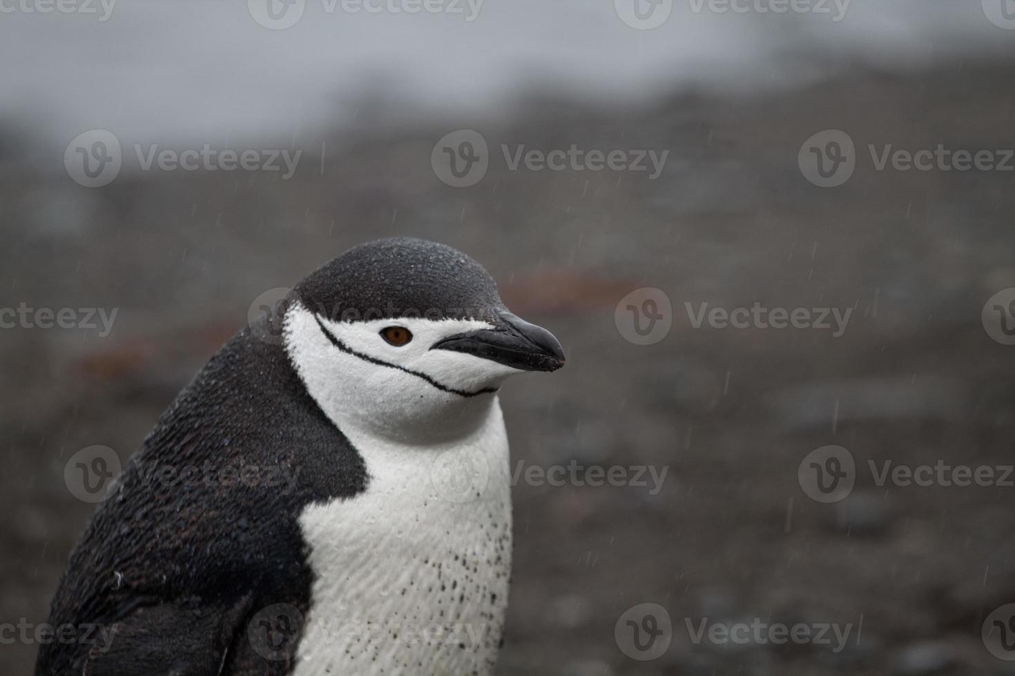 Manchot à jugulaire en Antarctique photo