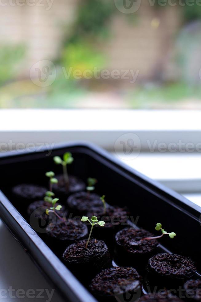 plants de chou-fleur photo