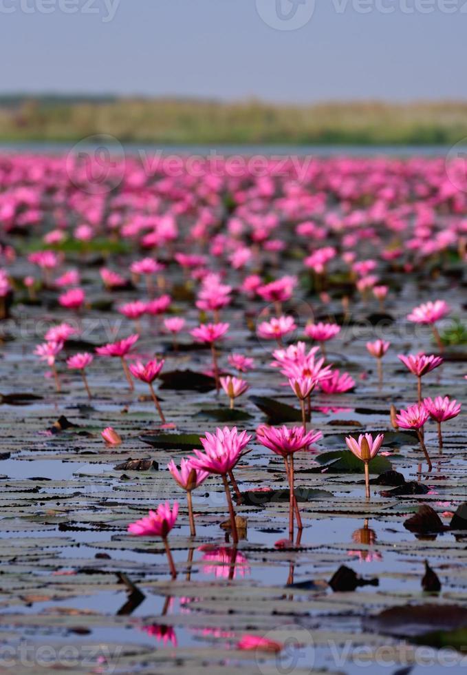 mer de lotus rose, nong han, udon thani, thaïlande photo