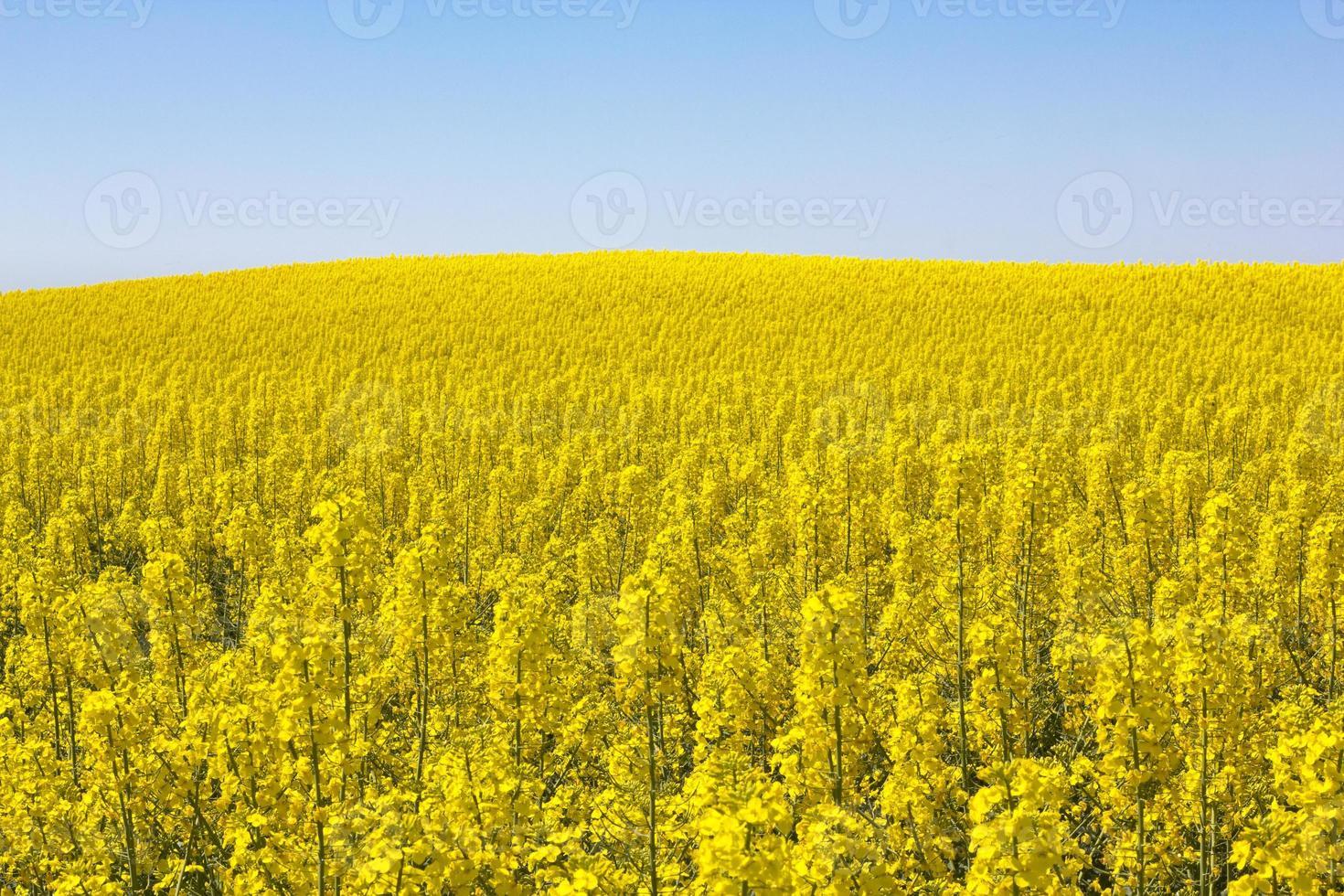 champ de colza photo
