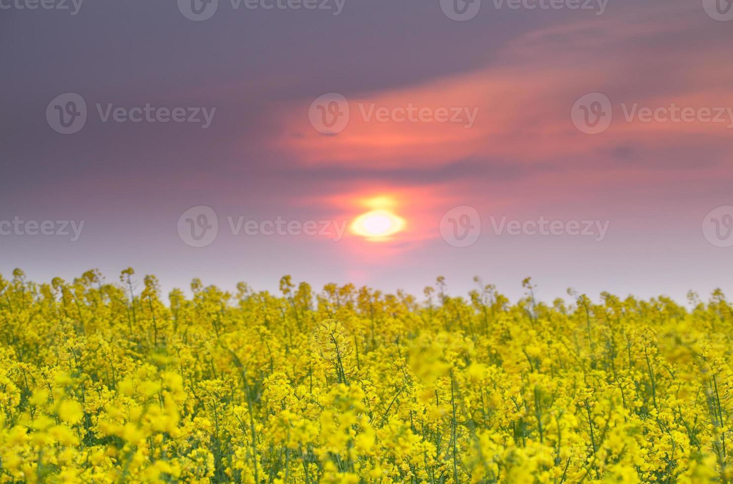 coucher de soleil sur le champ de colza photo