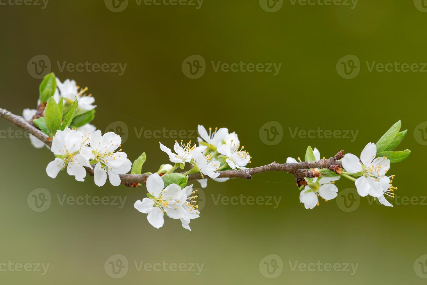 branche avec des fleurs de prunier blanc ou prunus domestica photo